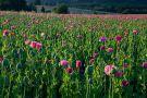 Růžové máky